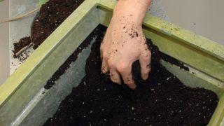 Plantar una alocasia en maceta grande