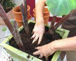 Plantación de Alocasia
