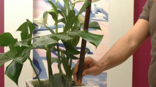 Plantar alocasia en maceta