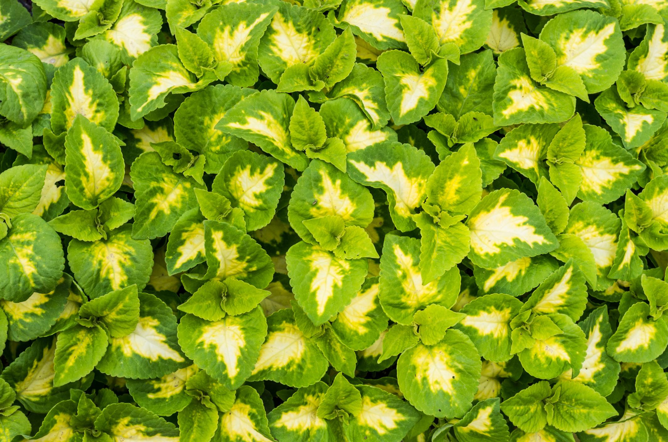 Tipos de coleos plantas jardiner a hogarmania - Hogarmania jardineria ...