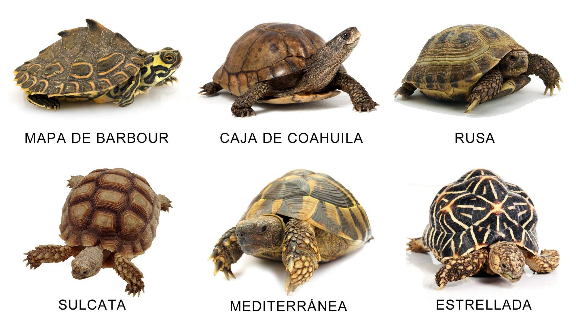 Tortugas terrestres hogarmania for Peceras para tortugas