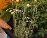 Plantación de aromáticas