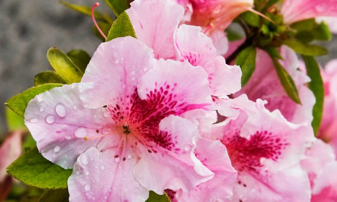 3 claves para cultivar azaleas hogarmania - Azalea cuidados planta ...