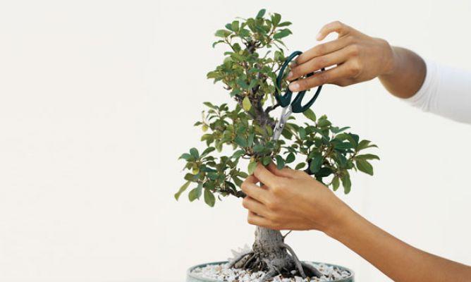 C mo regar y podar un bons i hogarmania - Como cuidar un bonsai ...