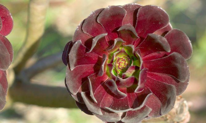 Aeonium arboreum plantas jardiner a bricoman a - Bricomania jardineria ...