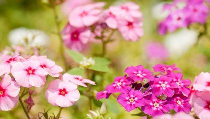 Alegr a guineana impatiens hawkeri cuidados plantas jardineria hogarmania - Planta alegria de la casa ...