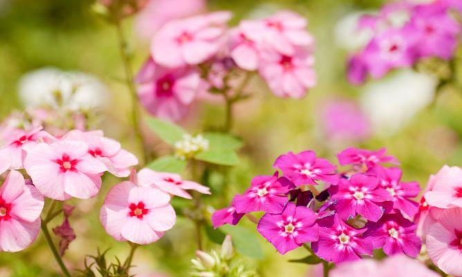 Alegr a de la casa impatiens wallerana fichas de jardiner a jardineria hogarmania - Planta alegria del hogar ...