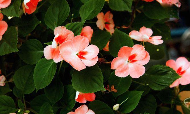 Alegr a guineana impatiens hawkeri cuidados plantas jardineria hogarmania - Alegria planta cuidados ...