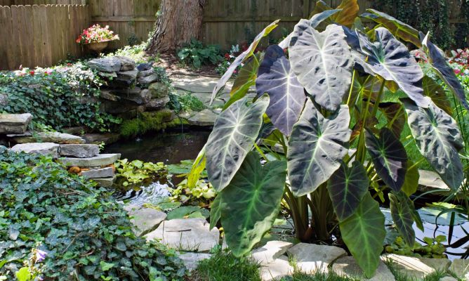 Alocasia hogarmania for Planta ornamental oreja de elefante