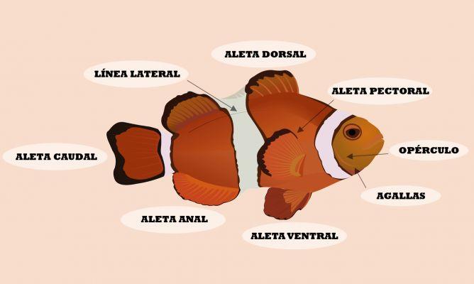 Anatomía del pez - Hogarmania