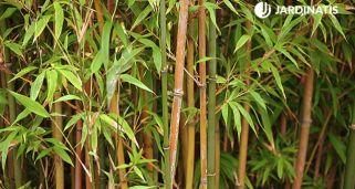 Bamb de la suerte o lucky bamboo hogarmania - Reproduccion del bambu ...