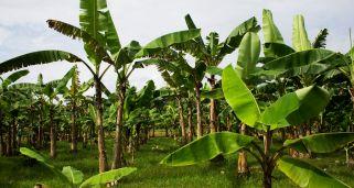 Falso banano rojo ensete ventricosum maurelii cuidados plantas jardineria hogarmania - Hogarutil plantas ...