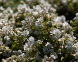 Begonia siempreflor