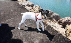 razas de perros Bodeguero andaluz