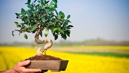 Ficus bons i hogarmania - Cultivo del bonsai ...
