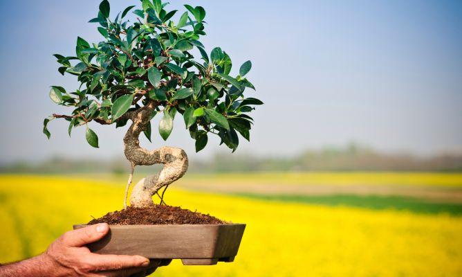 Bons is cultivo y cuidados bricoman a - Cultivo del bonsai ...