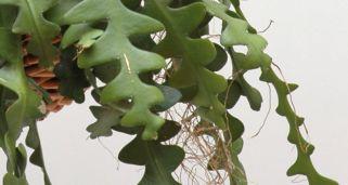 C mo reproducir cactus mediante esquejes bricoman a for Cactus variedades fotos