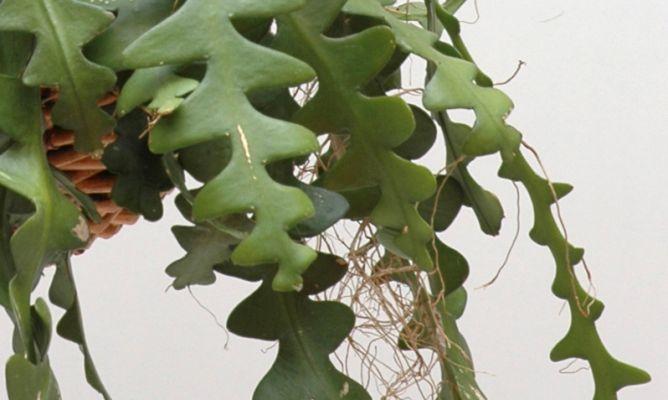 Cactus pascua hogarmania - Hogarutil plantas ...