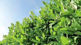 Cierre vegetal con laurel