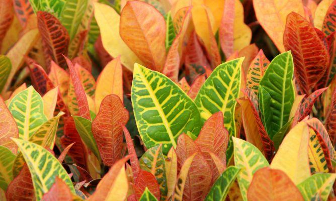 Crot n codiaeum fichas de plantas jardiner a - Hogarmania jardineria ...