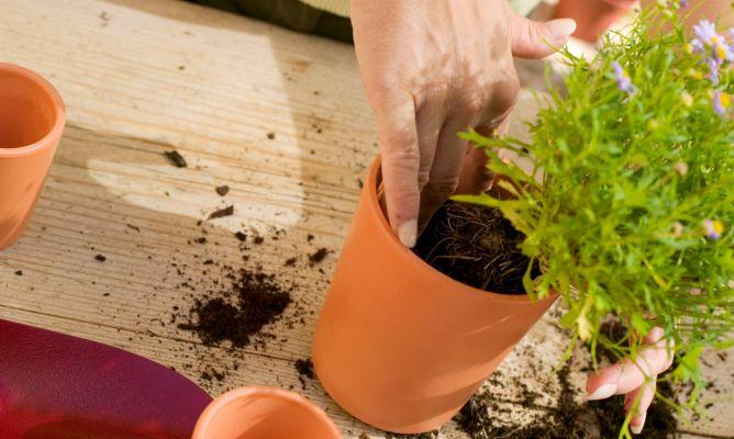 Cultivo de plantas arom ticas i bricoman a - Cultivo de hierbas aromaticas en casa ...