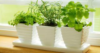 Cultivo de plantas aromáticas II