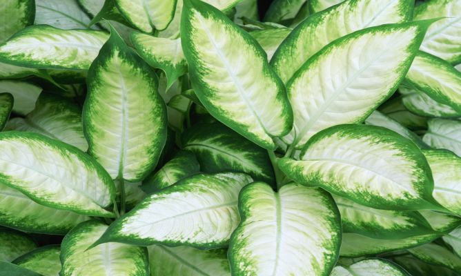 Diefembaquia o dieffenbachia hogarmania for Como se llaman las plantas ornamentales