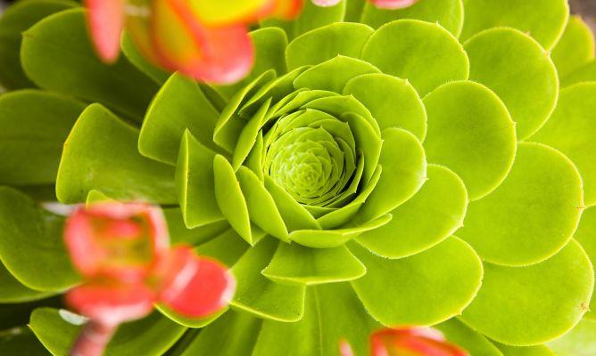 Echeveria o rosa de alabastro hogarmania - Hogarutil plantas ...