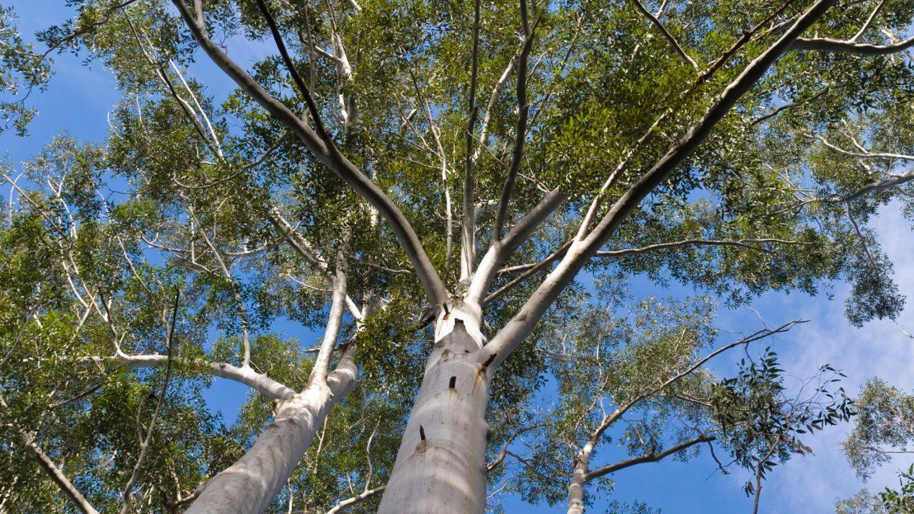 El árbol Del Eucalipto Jardinatis