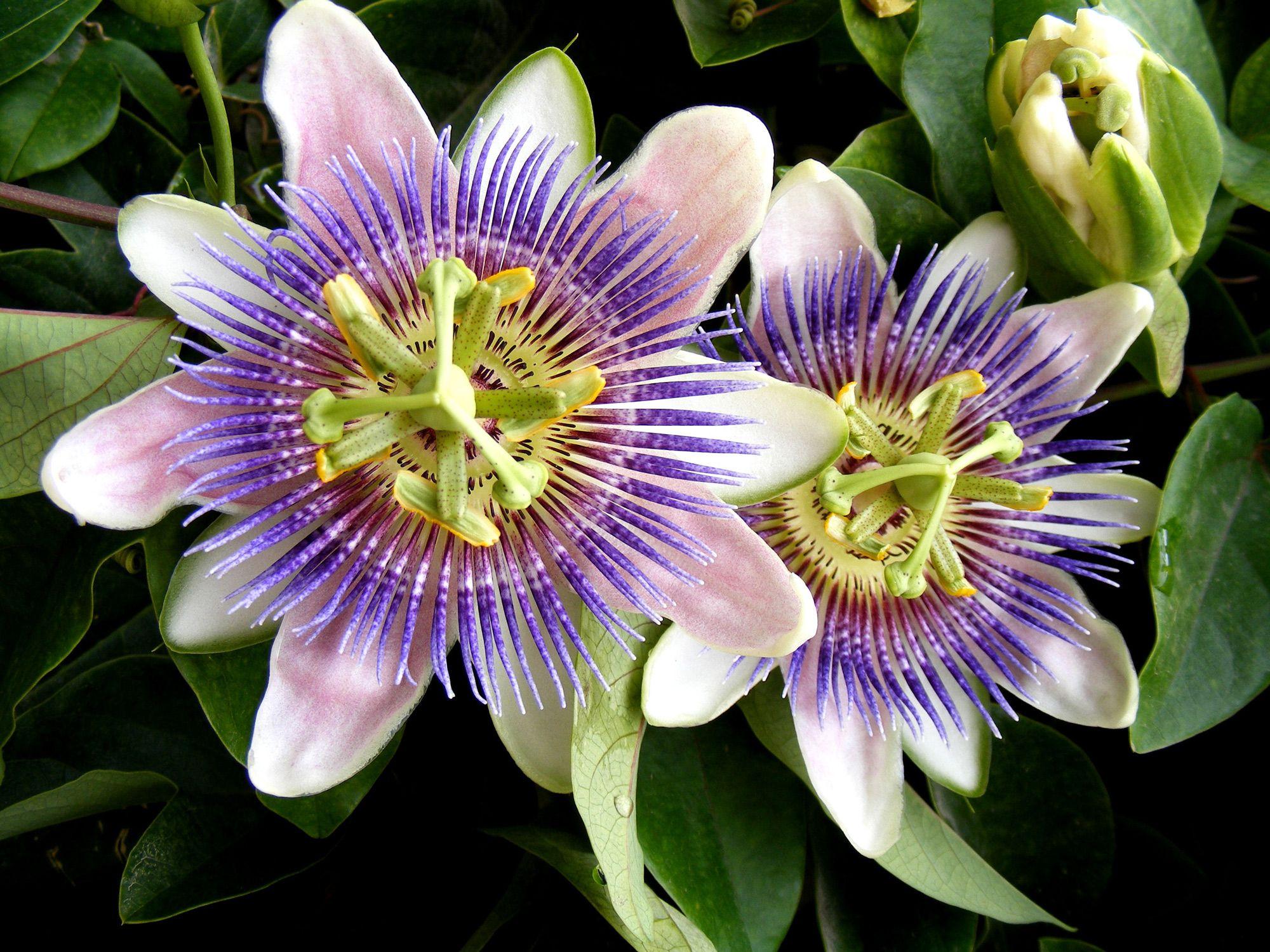 plantas contra el insomnio - pasiflora
