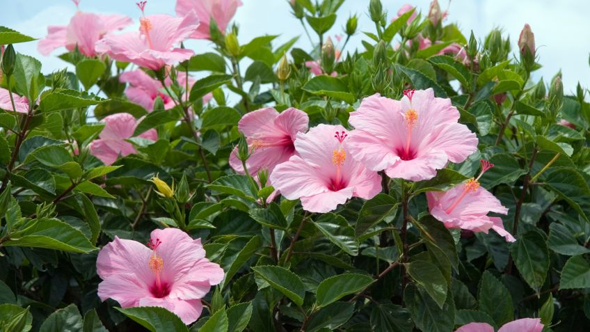 Hibisco Cuidados De Plantas Jardinería Hogarmania