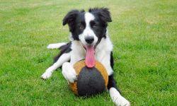 Importancia del juego en el perro