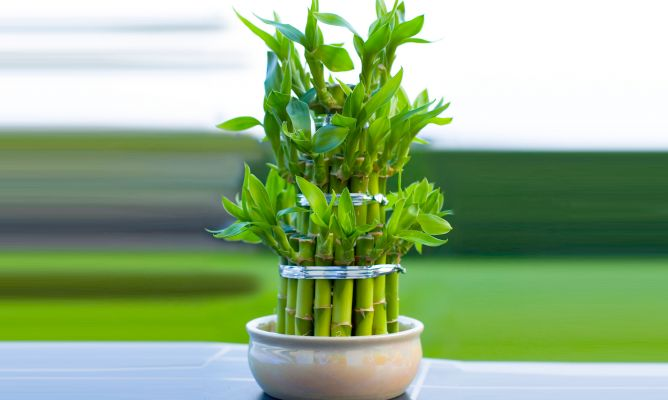 Bamb de la suerte o lucky bamboo hogarmania for Plantas de interior lidl