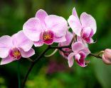 orquídea aérea