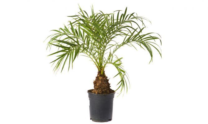 Palmera de roebelen hogarmania - Planta interior palmera ...