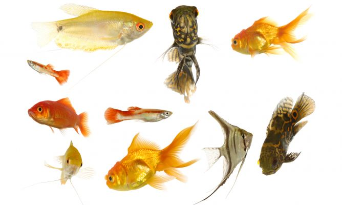 Clasificaci n de los peces seg n su dieta alimentaria for Comida congelada para peces