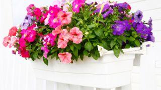 Plantas de temporada para la terraza o balcón