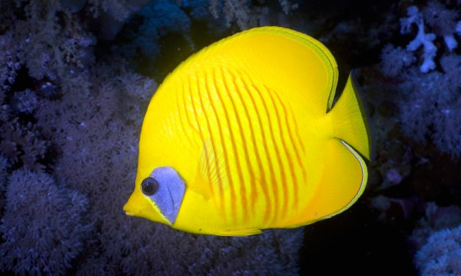Mascotas pez mariposa chaetodontidae hogarmania for Acuarios para peces marinos