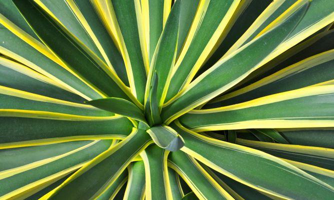Agave o pita planta jardiner a hogarmania - Hogarmania jardineria ...