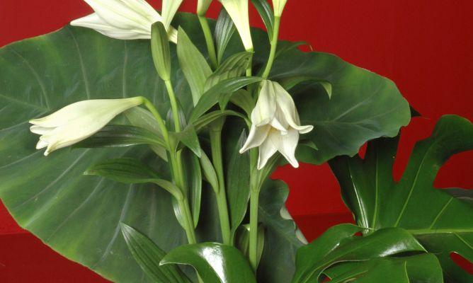 Plantaci n de alocasia hogarmania for Planta ornamental oreja de elefante