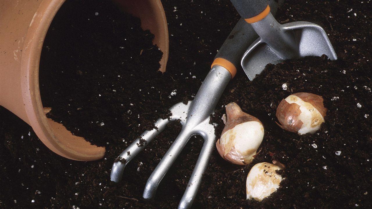 Plantación de bulbos