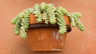 Plantas de origen mexicano
