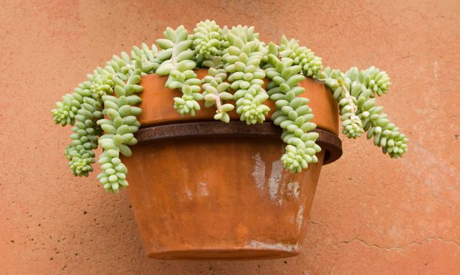Plantaci n de sedum en cesto colgante decogarden - Plantas crasas colgantes ...