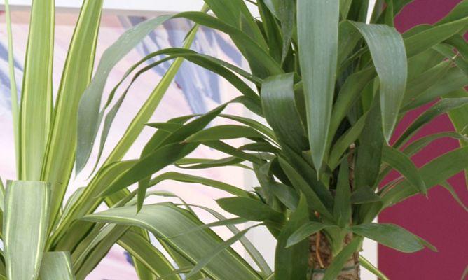 Plantaci n de yuca decogarden for Planta yuca exterior