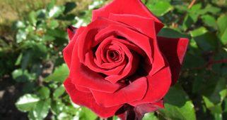 Composici n floral con rosas inglesas decogarden - Rosales en macetas ...