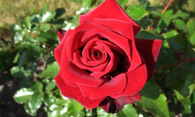 plantar rosales en maceta - bricomanía