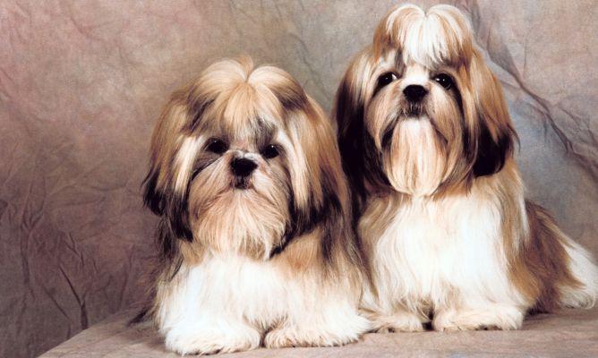 Shih Tzu Raza De Perro Mascotas Hogarmania