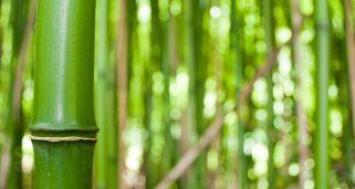 Cosecha del bamb bricoman a - Reproduccion del bambu ...
