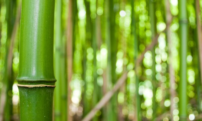 Tipos de bambú  Decogarden
