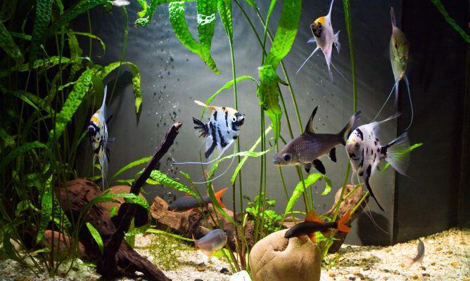 Ventajas de la acuariofilia hogarmania for Acuariofilia peces ornamentales